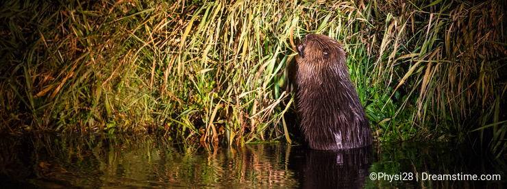 European Beaver at Narew river nighttime