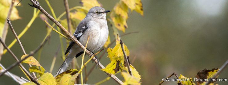 Northern Mockingbird perched on yellow fall foliage