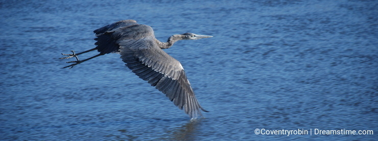 Great Blue Heron flyings over river horizontal