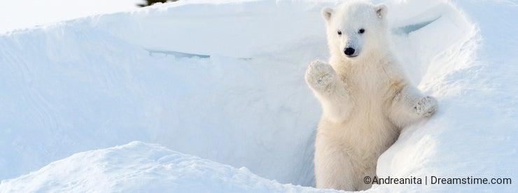 Polar bear (Ursus maritimus) cub coming out den
