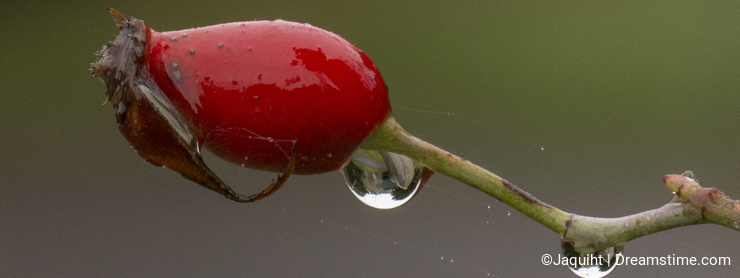 Raindrops on a rose hip