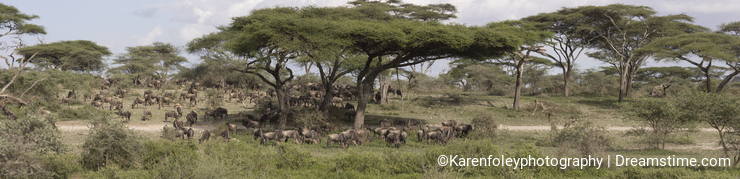 Panorama of great wildebeest migration, Serengeti