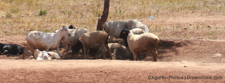 Desertification, sheep and goats forced to take shelter under the shade of an only tree