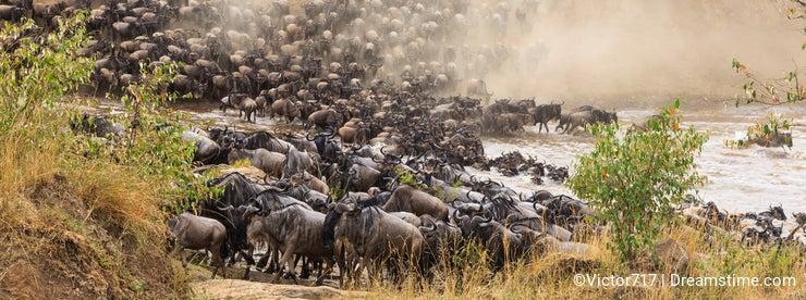 Great migration in Africa. Huge herds of herbivores. Mara River, Kenya