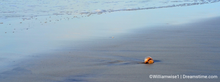 Stranded jellyfish on Hilton Head Island Beach