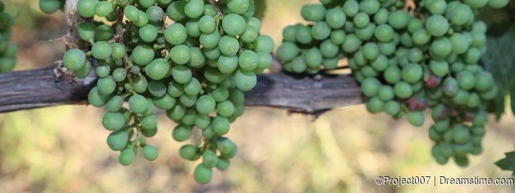Vineyards in Europe! Vineyard close up billboard