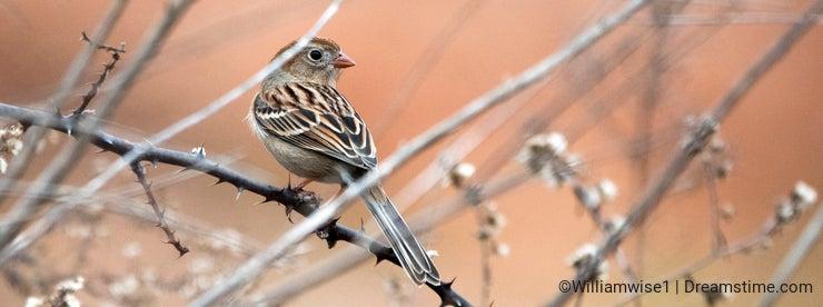 Field Sparrow Songbird Georgia