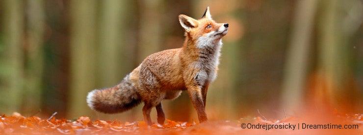 Cute Red Fox, Vulpes vulpes, fall forest. Beautiful animal in the nature habitat. Orange fox, detail portrait, Czech. Wildlife sce