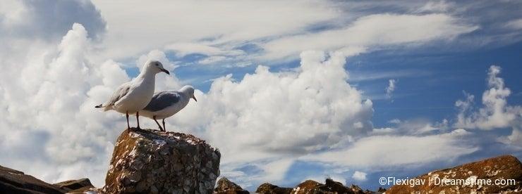 Lagoon Gulls
