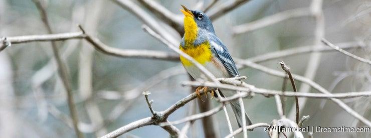Northern Parula bird singing in Okefenokee Swamp Georgia