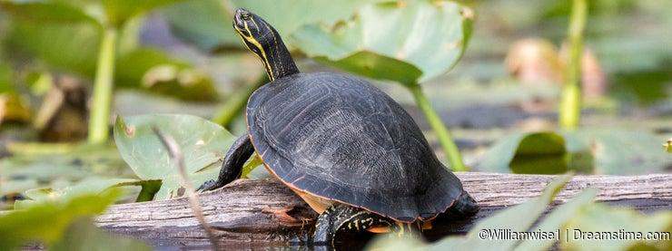 Florida Coastal Plain Cooter Turtle in Okefenokee Swamp