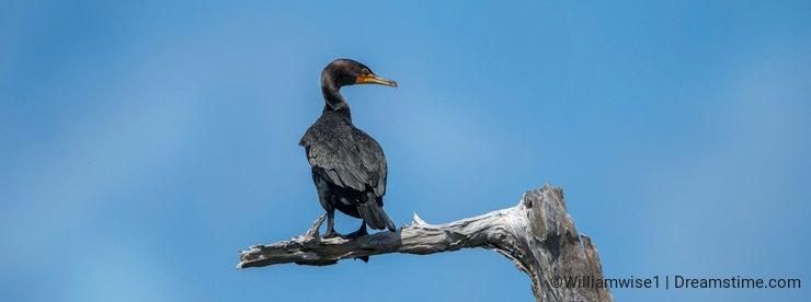 Double crested Cormorant bird Okefenokee Swamp