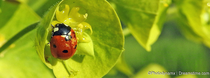 Ladybird ladybug insects insect flowers plants euphorbia