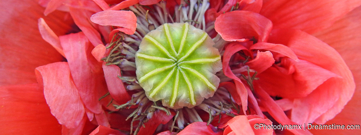 Macro poppy head flower petals in full bloom