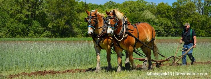 Draft Horses Plowing Field