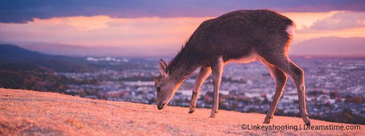 Ruocaoshan, Deer and Dusk, Nara, Japan