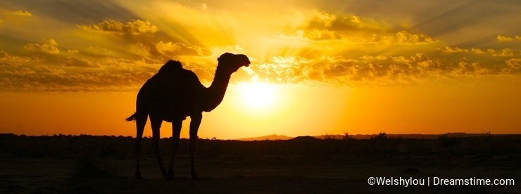 A camel silhouette at sunset