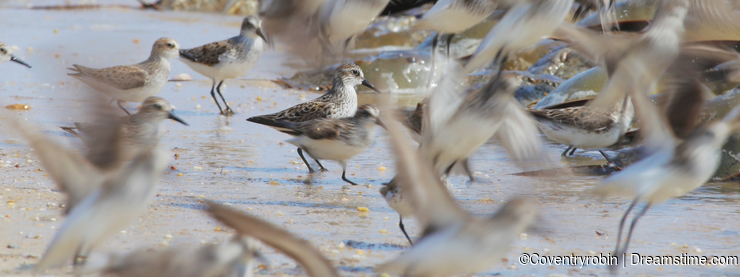 Fight or Flight Semipalmated Sandpipers and Spawning Horseshoe Crabs on Delaware Bay Beach
