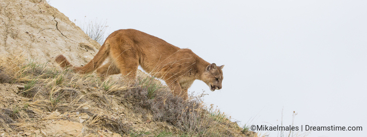 Mountain lion on hunt