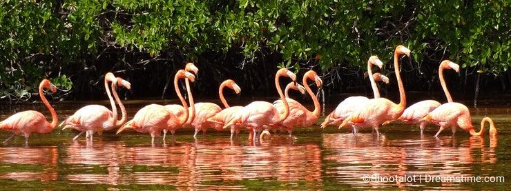 Celestun Pink Flamingos