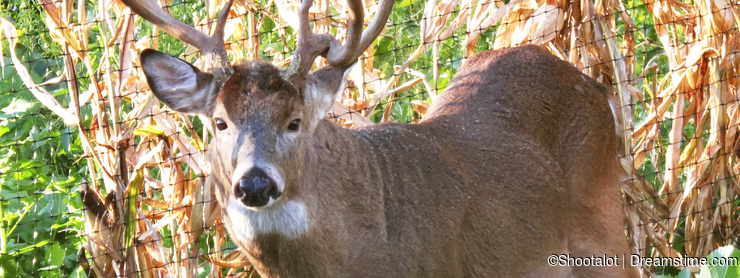 Eight Point Trophy Whitetail Deer