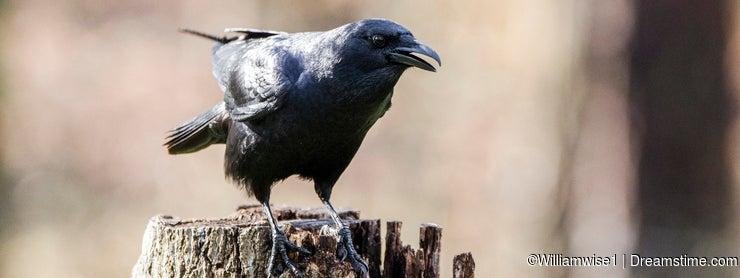 American Crow bird cawing, Athens Georgia USA