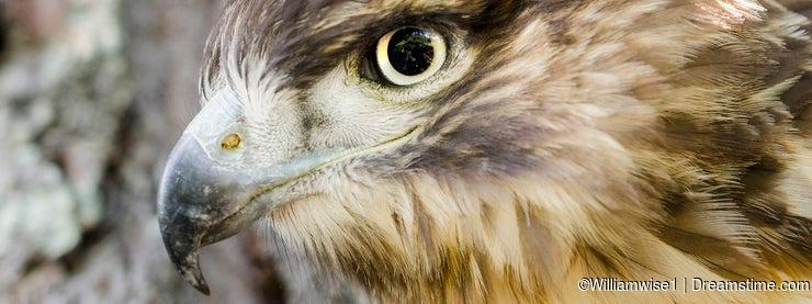 Raptor Bird of Prey, Juvenile Red Tailed Hawk profile