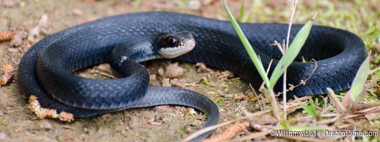 Black Racer Snake Coiled