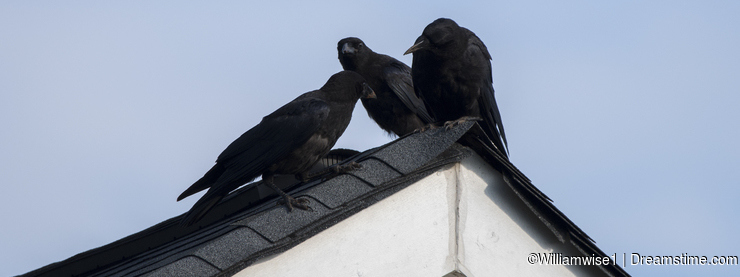 American Crow on rooftop, Clarke County GA USA