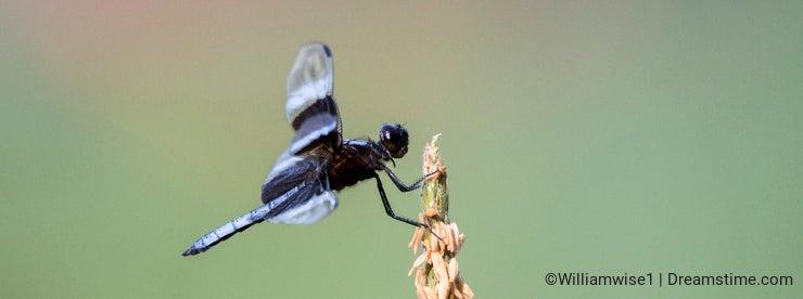 Widow Skimmer Dragonfly, Georgia