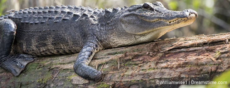 Okefenokee Alligator missing foot and part of snout