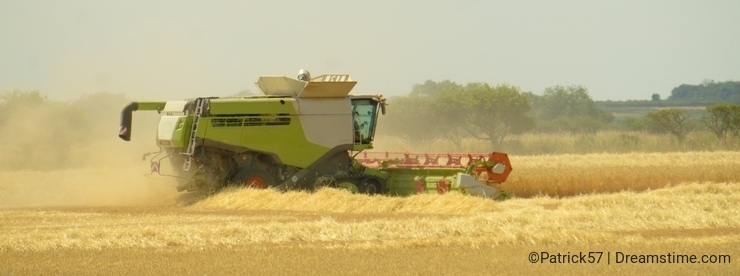 Cutting the corn with combine harvester.