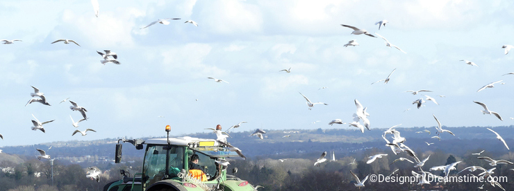 Agricultural tractor plowing field with gulls in attendance
