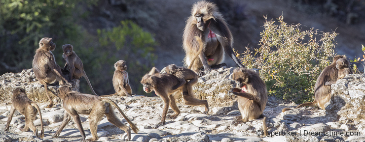 Family of Gelada under Sun