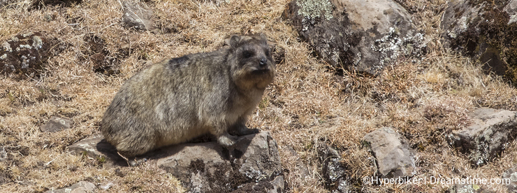 Cape Hyrax on Rock
