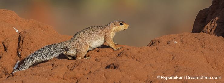 Unstriped Ground Squirrel on Termite Nest