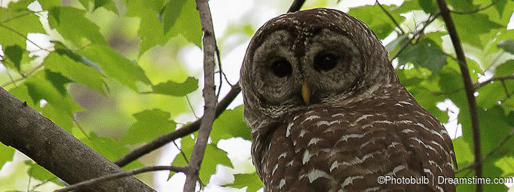 Barred Owl in Northern Virginia Woodland