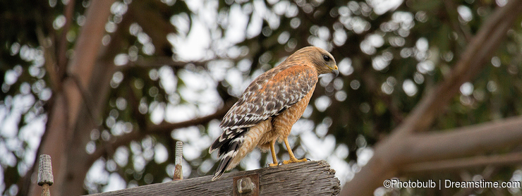 Cooper`s Hawk in Monterey, California