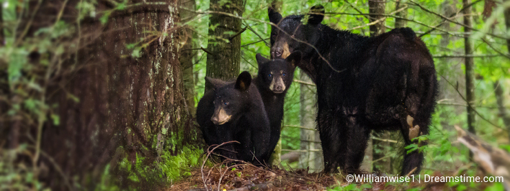 Mother Black Bear and two Cubs Cades Cove GSMNP
