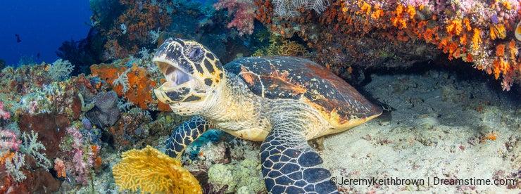 Hawksbill sea turtle, Chelonia mydas. Misool, Raja Ampat, Indonesia