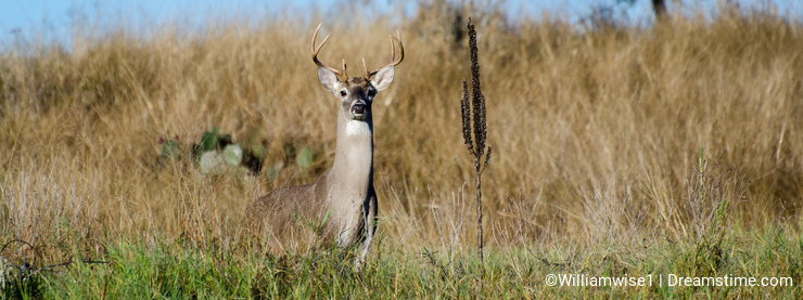 Texas Trophy Whitetailed Deer Buck