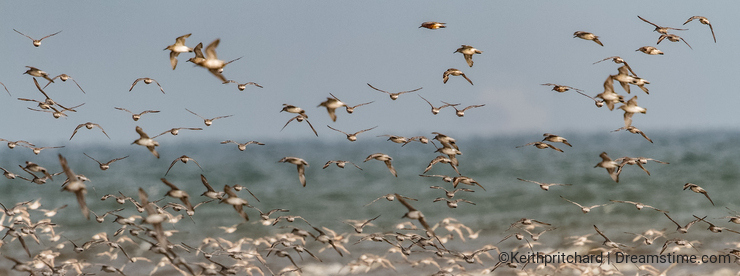 A flock of Knot wading birds on the Norfolk coast, England, UK.