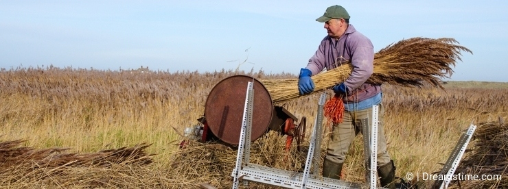 Reed cutter at work.
