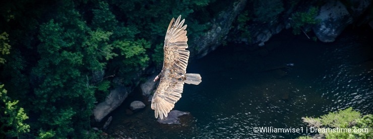 Turkey Vulture soaring over Tallulah Gorge in Georgia