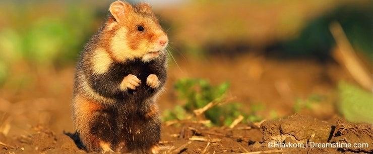 Adorable wild hamster