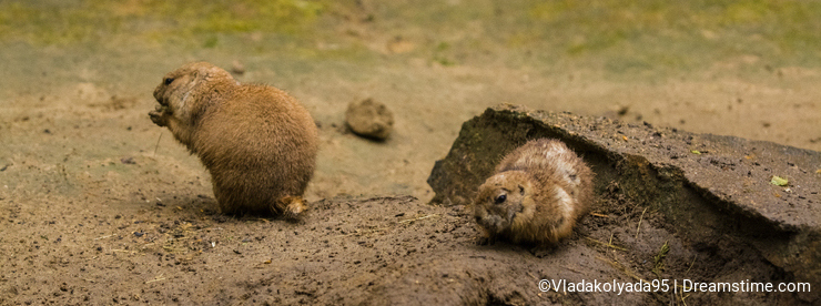 16.05.2019. Berlin, Germany. Zoo Tiagarden. Wild and red rodents of babak dig sand in search of food.