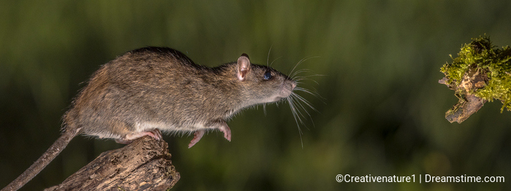 Wild brown rat about to leap