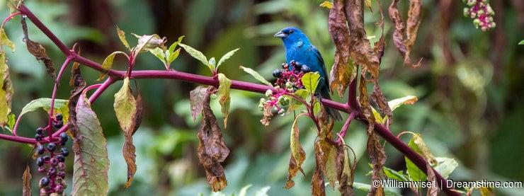 Indigo Bunting in Pokeberry plant habitat
