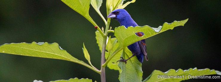 Blue Grosbeak songbird perched in leaves, Georgia birding
