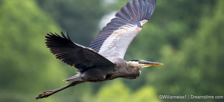 Great Blue Heron in flight, Walton County, Georgia birding